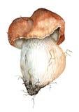 Porcini蘑菇绘与水彩 向量例证