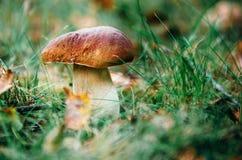 Porcini гриба подосиновика растя в траве леса Стоковые Фото