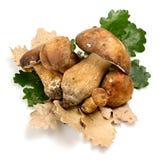 porcini гриба Стоковые Изображения RF