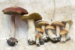 Porcini Borovik ceps na suchej trawie na białym tle Fotografia Stock