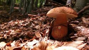 Porcini champinjon i skog Arkivfoton