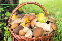Porcini and chanterelles in the wicker basket Royalty Free Stock Image