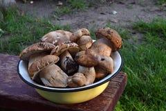 Porcini in ciotola del metallo sul piccolo panchetto di legno Funghi selvaggi commestibili bianchi copi lo spazio per il vostro t Fotografia Stock Libera da Diritti
