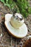 porcini de cabeça para baixo do cogumelo Fotografia de Stock Royalty Free