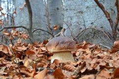 Porcini. Delicious edible Porcini mushroom in natural habitat, autumn beech forest Stock Photos