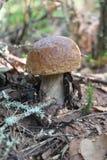 Porcini do cogumelo Imagens de Stock
