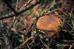Porcini fra le spine del pino Fotografie Stock