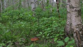 Porcini las w trawie w brzoza lesie zbiory