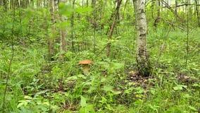 Porcini las w trawie w brzoza lesie zdjęcie wideo