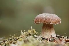Porcini Mushroom Stock Photo