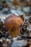 Porcini mushroom (Boletus edulis) Royalty Free Stock Images