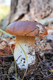 Porcini mushroom in the forest Stock Photos