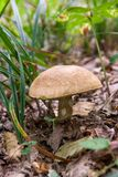 Porcini mushroom grows on the forest floor at autumn season. Boletus edulis English: cep, penny bun, porcino, or king bolete, usually called porcini mushroom Royalty Free Stock Image