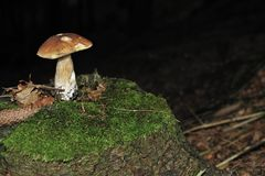 Porcini mushroom in the woods. Royalty Free Stock Image