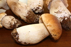 Porcini mushrooms. Group of ripe porcini or cep mushrooms Royalty Free Stock Photos