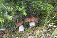 Porcini mushrooms Alps Royalty Free Stock Photography