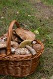 Porcini mushrooms Boletus edulis, cep, penny bun, porcino or ki Royalty Free Stock Photography