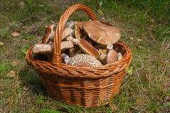 Porcini mushrooms Boletus edulis, cep, penny bun, porcino or ki. Harvested at autumn amazing edible mushrooms boletus edulis king bolete known as porcini Stock Photo