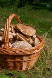 Porcini mushrooms Boletus edulis, cep, penny bun, porcino or ki. Harvested at autumn amazing edible mushrooms boletus edulis king bolete known as porcini Royalty Free Stock Images
