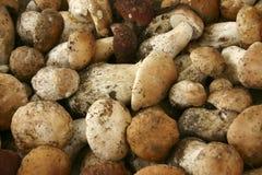 Porcini mushrooms in close up Stock Photos