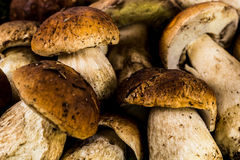 Porcini mushrooms close-up Royalty Free Stock Image