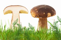 Porcini mushrooms on white background with grass and vegetation. One of the mushrooms is whole, the other is cut in half Royalty Free Stock Photography