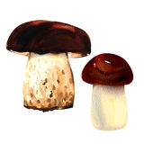 Porcini mushrooms on white background. watercolor Stock Photos