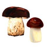 Porcini mushrooms on white background. watercolor Stock Photos