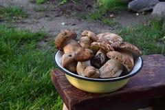 Porcini na bacia do metal no tamborete pequeno de madeira Cogumelos selvagens comestíveis brancos copie o espaço para seu texto Fotografia de Stock Royalty Free