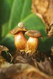 Porcini satan mushrooms. Mushrooms with snail in the wood Royalty Free Stock Photo