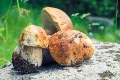 Porcini selvaggi (funghi del boletus) nella foresta fotografia stock