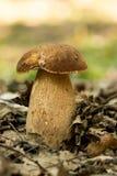 Porcini svampar Royaltyfri Fotografi