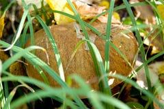 Porcino do bolo da moeda de um centavo do cepa-de-bordéus ou do cepa-de-bordéus ou bolete do rei Fotografia de Stock