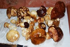 Porcino mushrooms, collection Stock Photography