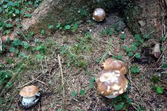 Porcino mushroom in Dolomiti mountains. Porcino mushrooms in Dolomiti mountains, in Italy. It is placed among dry grass in autumn season in the forest Royalty Free Stock Photography