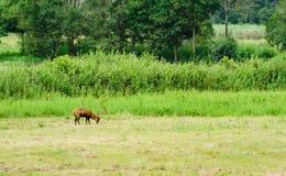 Porcinus de Hyelaphus de los ciervos del cerdo fotografía de archivo