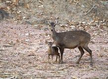 Porcinus Hyelaphus оленей борова Стоковое Изображение RF