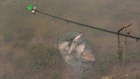 Porciones de carpa crucian en acuario en el río debajo de la lluvia Pescando la presa catched con trole en la fauna almacen de video