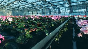 Porciones de ciclamen que crece en potes en un invernadero especial