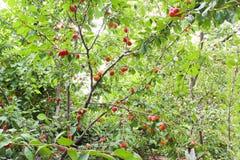 Porciones de ciruelos rojos Foto de archivo