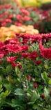 Porciones de crisantemo Imágenes de archivo libres de regalías