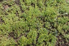 Porciones de florecer las plantas del testiculata de Ceratocephala Imagenes de archivo