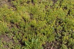 Porciones de florecer las plantas del testiculata de Ceratocephala Foto de archivo