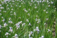 Porciones de flores de la violeta pálida del spuria del iris Imágenes de archivo libres de regalías