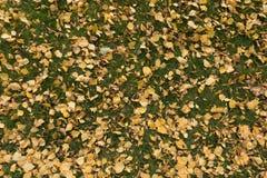 Porciones de hojas caidas del abedul en el césped Imágenes de archivo libres de regalías
