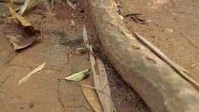 Porciones de hormigas negras que mueven a través de un bosque tropical la invasión del concepto de las hormigas concepto peligros almacen de video