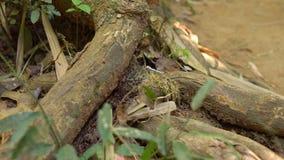 Porciones de hormigas negras que mueven a través de un bosque tropical la invasión del concepto de las hormigas concepto peligros almacen de metraje de vídeo