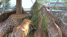 Porciones de jirafas en la jaula del parque zoológico que comen la comida de las ramas tailandia asia almacen de metraje de vídeo
