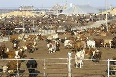 Porciones de la alimentación del ganado Fotos de archivo libres de regalías