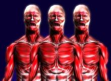 Porciones de los músculos 2 Foto de archivo